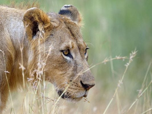 635760924843699902-lion