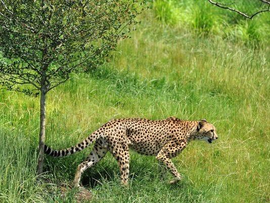 635772095317449077-cheetah