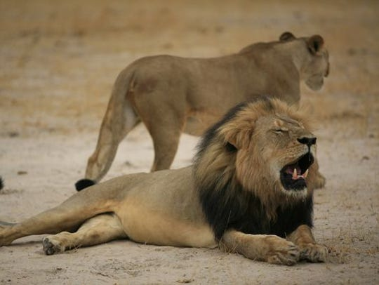 Cecil, the much-loved male lion, is shown in Zimbabwe
