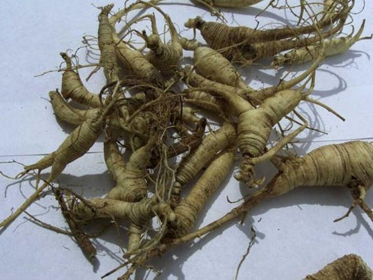 Ginseng roots are highly prized in Asian markets for their purported medicinal properties.