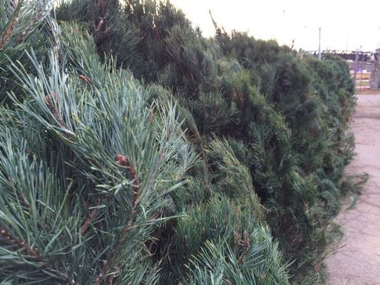 Christmas trees are lined up at a past Muncie Kiwanis tree sale.