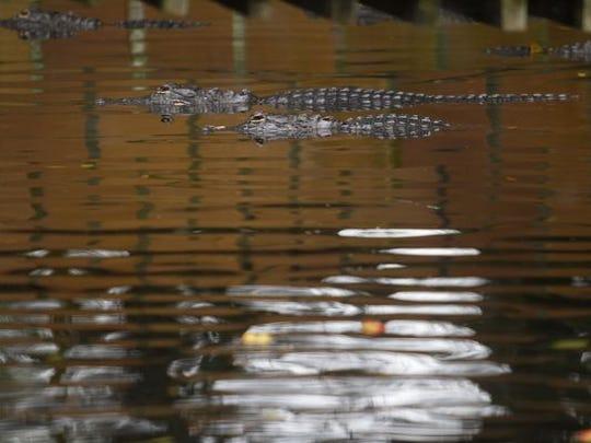 Alligators are a prime attraction at the Everglades