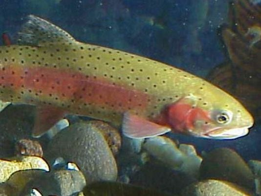 635919396799926481-635737799519827440-rainbow-trout-fishing-report.jpg