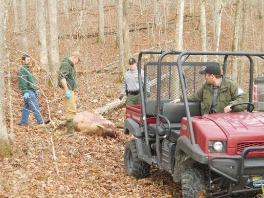 Conservation officials prepare to haul away the carcass of an elk shot and killed for its antlers in Shannon County, near the Current River.