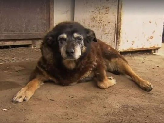 Maggie the Kelpie is thought to have been 30 years