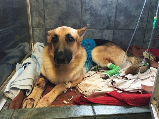 Haus, the dog wonder who saved a little girl from a