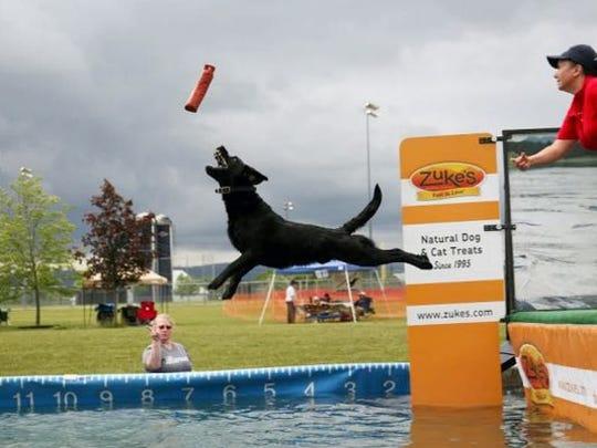 A Labrador retriever competes at an earlier Furry Fun Days.