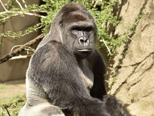 636001272042918622-gorilla.jpg