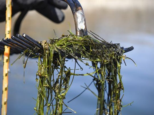 Starry stonewort is an invasive aquatic species, a macro algae that can smother fish spawning habitat and clog boat motors. This sample was pulled from Lake Koronis near Paynesville.