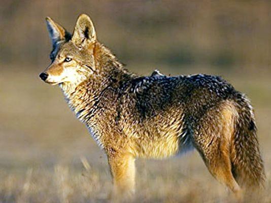 636094517950490440-635907267130773509-Coyotes.jpg