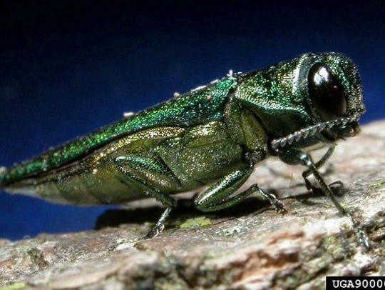The emerald ash borer, first detected in the Detroit