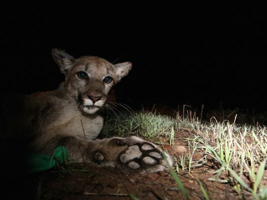 Mountain lions in Ventura County
