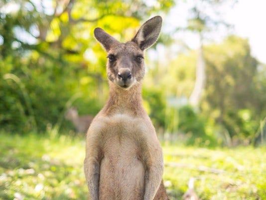 636168921252332756-kangaroo.jpg