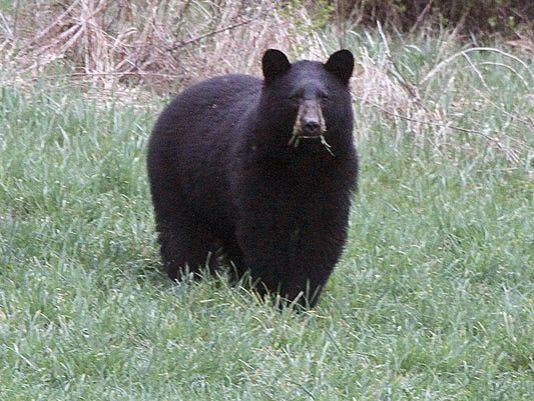 636209590862800118-Bear-photo-AP.jpg