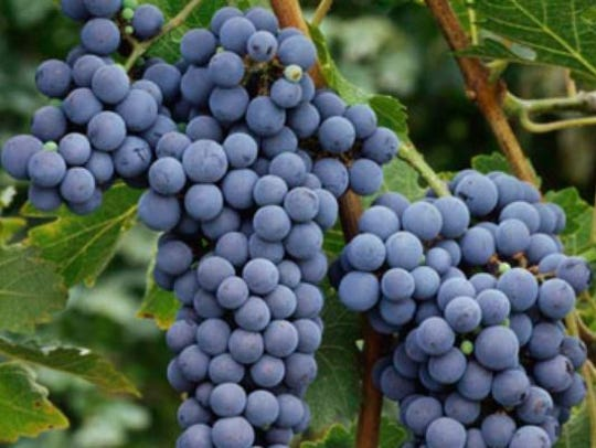 Cabernet Sauvignon grapes on the vine in Washington