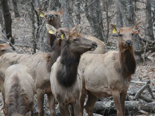 Elk received from Kentucky are shown in a holding pen