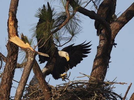 Famous North Fort Myers eagles survive Hurricane Irma, begin rebuilding