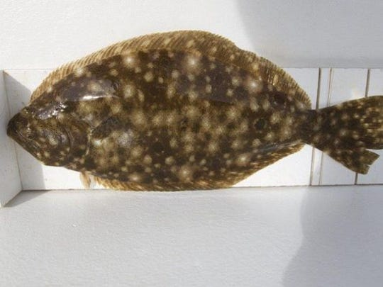 Pictured: a fluke also known as a summer flounder.