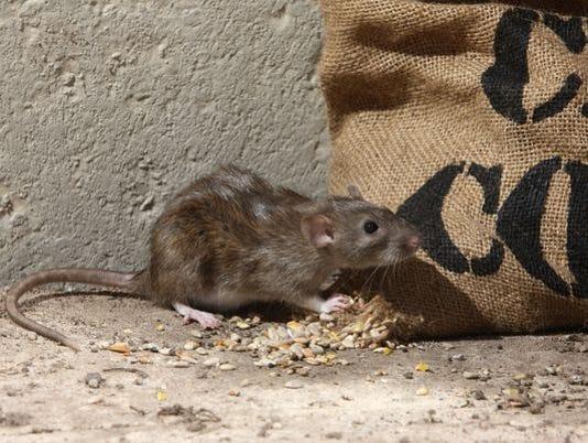 636639640788521063-brown-rat.jpg
