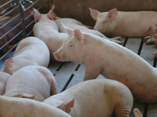 Pigs being raised in a Wabash, Ind., confined feeding operation.