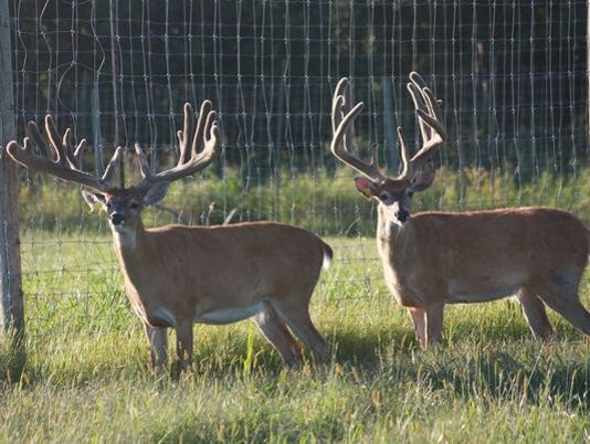 636664810867061918-Deer-farm-bucks-photo-by-Laurie-Seale-Whitetails-of-Wisconsin.jpg