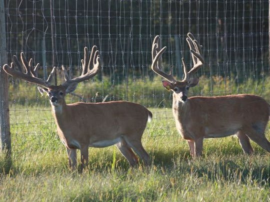 Two male white-tailed deer stand in a captive cervid facility in Wisconsin.