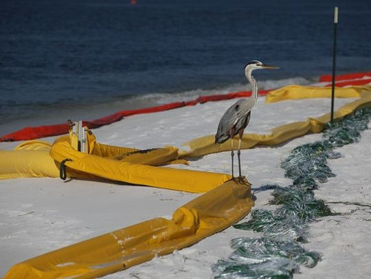 PENSACOLA, FL - JUNE 07: A great blue heron stands