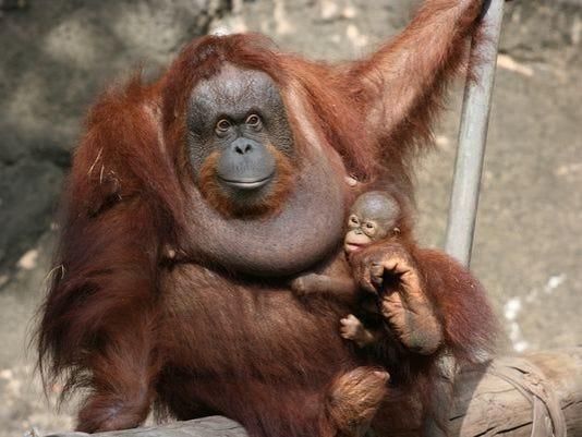635503560174847978-orangutan