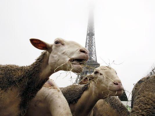 635527021746023613-sheep