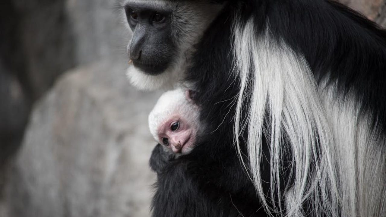 The Oregon Zoo's primate family grew by a pound on Tuesday morning as colobus monkeys Violet and Kiku welcomed a new baby. The newborn colobus monkey is thriving and can already be seen peeking a pink face out from the safety of its mom's fur.