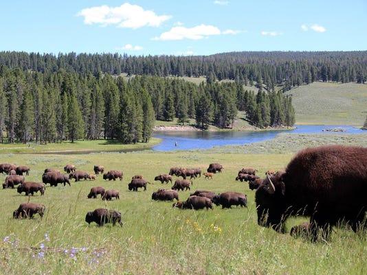 636055826827678742-Yellowstone-buffalo.jpg