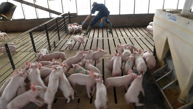 Hugo Sanchez tries to catch baby pigs to be vaccinated at a pig farm in Henry, Tenn., on Wednesday, April 11, 2018.