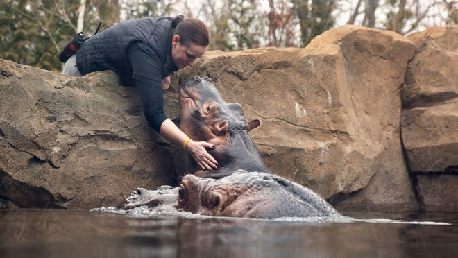 Dana Burke, Team Leader for Africa, gives Fiona a kiss as her mom, Bibi, stays close by in Hippo Cove at the Cincinnati Zoo and Botanical Garden.