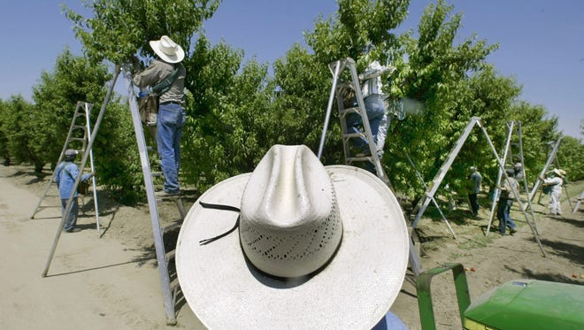 A foreman watches workers pick fruit in an orchard in Arvin, CA. On May 2, 2004, a number of workers fell ill after pesticides sprayed over an adjacent orchard drifted a quarter-mile and sickened the pickers. The Trump administration won't ban a common pesticide used on food, reversing efforts by the Obama administration to bar the chemical based on findings it could hinder development of children's brains.
