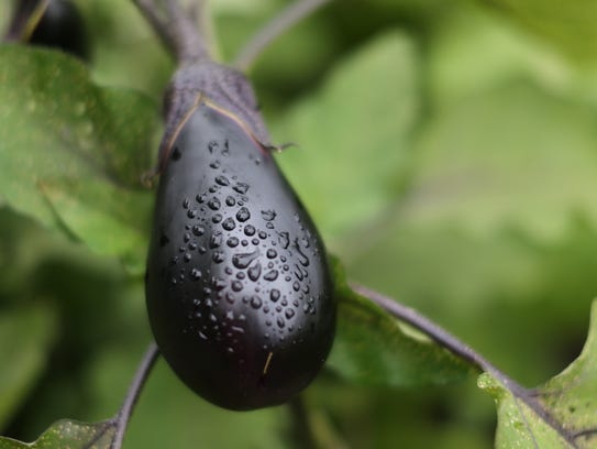 An eggplant growing in the garden at the Viola Elementary