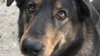 Shelter: WL; Name: Bear; Breed: Shepherd-husky mix; Gender/age: F, 3; Neutered/spayed: Yes; Housebroken: Yes; OK with kids: Yes; Special needs: Has some food guarding issues around other animals; Other: Big strong girl. Happy, playful, walks well on leash and loves people. Talkative and would love a home with a yard.