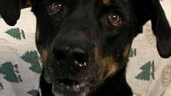 Shelter: PA; Name: Apollo; Breed: Shepherd mix; Gender/age: M, 4; Neutered/spayed: Yes; Housebroken: Almost; OK with kids: Yes; Special needs: None; Other: Lover of life and great family dog.