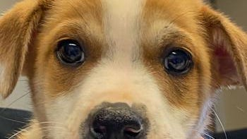 Shelter: MTN; Name: Miller; Breed: Mixed breed puppy; Gender/age: 8 weeks; Neutered/spayed: Yes; Housebroken: No; OK with kids: Yes; Special needs: None; Other: Playful and energetic.