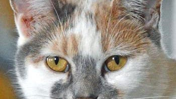 Shelter: PA; Name: Daffodil; Breed: Shorthaired calico cat; Gender/age: F, 3; Neutered/spayed: Yes; Housebroken: Yes; OK with kids: Yes; Special needs: None; Other: Sweet, quiet and mellow. Needs the right person.