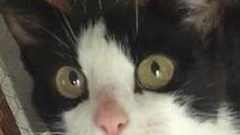 Shelter: SHName: MoomooBreed: Shorthaired black and white catGender/age: F, adultNeutered/spayed: YesHousebroken: YesOK with kids: YesSpecial needs: Has heart condition, needs home without dogsOther: In foster for more than a year.