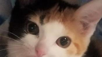 Shelter: WV; Name: Anna; Breed: Shorthaired calico kitten; Gender/age: F, 14 weeks; Neutered/spayed: Yes; Housebroken: Yes; OK with kids: Kids ages 10 and older only; Special needs: None; Other: May be shy but her calico personality comes through. Playful with siblings, Elsa and Kristoff.