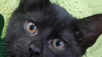 Shelter: WV; Name: Aberdeen; Breed: Shorthaired black kitten; Gender/age: F, 14 weeks; Neutered/spayed: Yes; Housebroken: Yes; OK with kids: Yes; Special needs: None; Other: First of 2020 trio of kittens. Friendly with small spritz of white on chest.