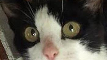 Shelter: SH; Name: Moomoo; Breed: Shorthaired black and white cat; Gender/age: F, adult; Neutered/spayed: Yes; Housebroken: Yes; OK with kids: Yes; Special needs: Has heart condition; Other: In foster home more than a year. Needs home without dogs.
