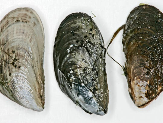 The quagga mussel is a small but dangerous invasive
