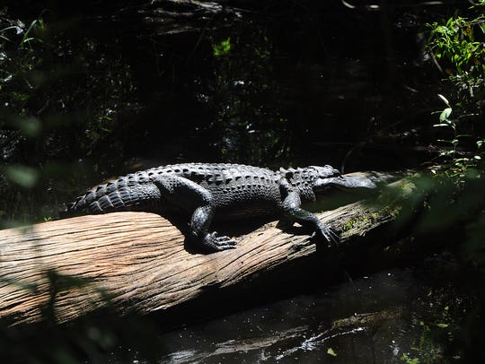 An alligator suns on a fallen log in the Big Cypress
