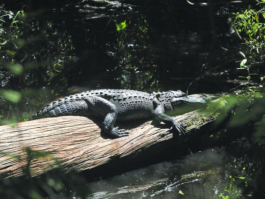 Alligators do not normally target people and domestic animals as food, although dogs are tempting.