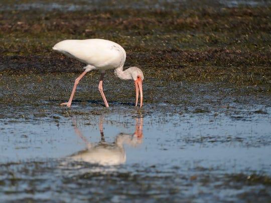 File: White ibis search the mudflats.