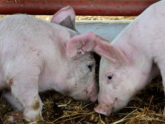 Piglets snuggle together during Farm Days.