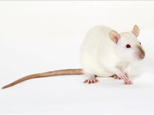 Fred, male rat. No. 100757.