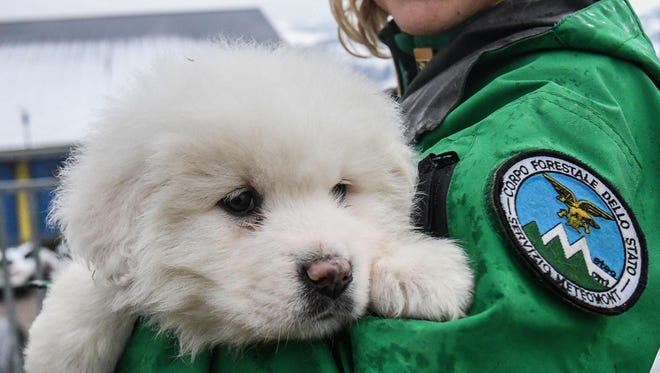 An Italian Forestry Corp officer officer holds one of three puppies that were found alive in the rubble of the avalanche-hit Hotel Rigopiano, near Farindola, central Italy, Monday, Jan. 22, 2017. Emergency crews digging into an avalanche-slammed hotel were cheered Monday by the discovery of three puppies who had survived for days under tons of snow, giving them new hope for the 23 people still missing in the disaster. (Alessandro Di Meo/ANSA via AP)